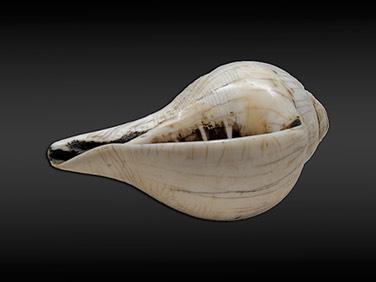 Conch schelp 2